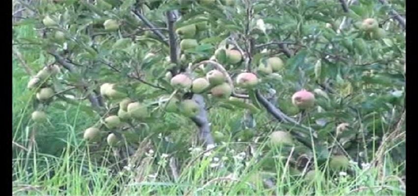 जम्मू-कश्मीर- भारी बर्फबारी से सेब और बादाम के पेड़ टूटे